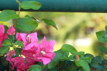 Bougainvillea flowers - Pink flowers  Stock Photo