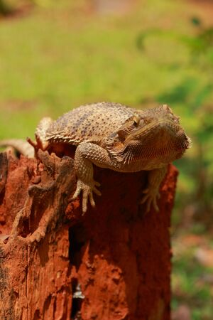 Bearded dragon on the wood