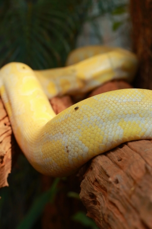 Python Gold  photo