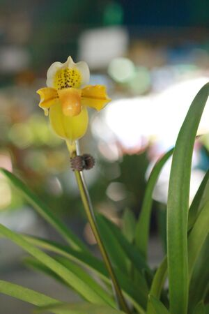 Orchid Paphiopedilum - yellow flower photo