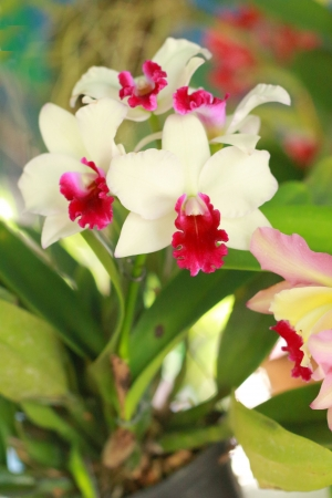 Orchid Cattleya - white flowers