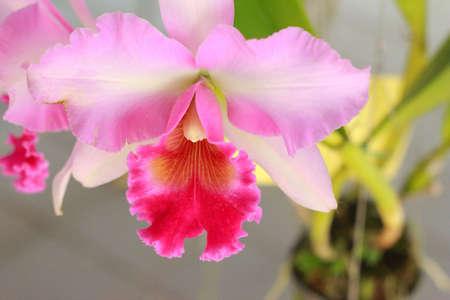 cattleya: Orchid Cattleya - pink flowers