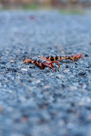 Centipede died on the road. photo
