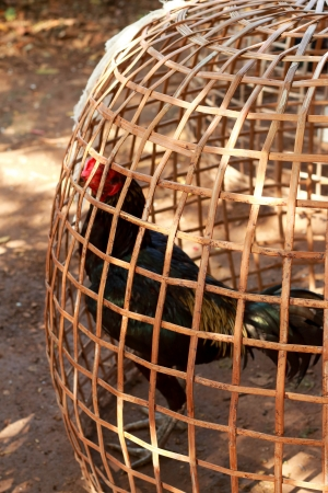 penned: Rooster in captivity  Stock Photo