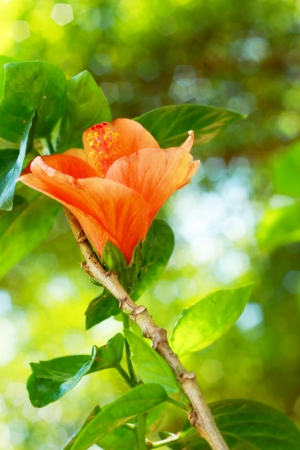 Flower orange - Hibiscus flower photo
