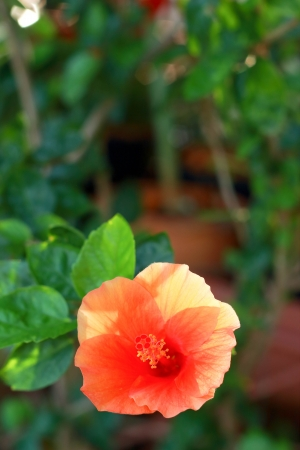 bush to grow up: Flower orange - Hibiscus flower