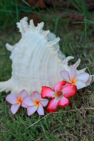 cockleshells: Cockleshells and pink flower Stock Photo