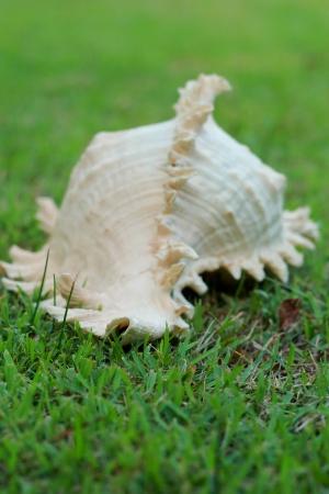 cockleshells: Cockleshells on green grass