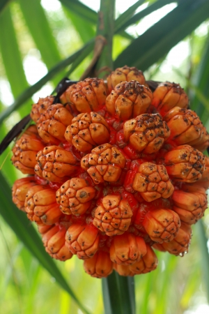 Palm fruits. photo