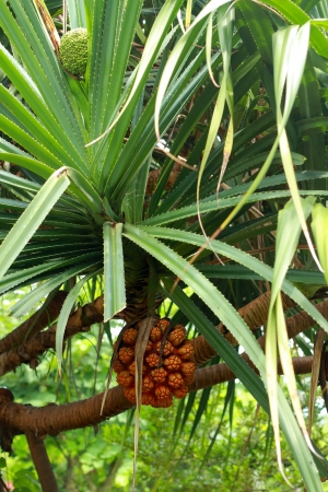 Palm fruits  photo