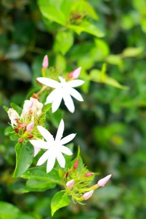 jessamine: Orange Jessamine - white flower