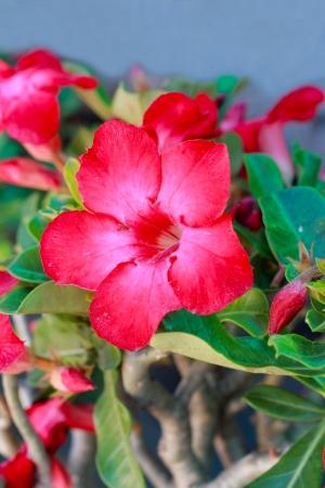 rose of the desert: Desert rose - Fiore rosso