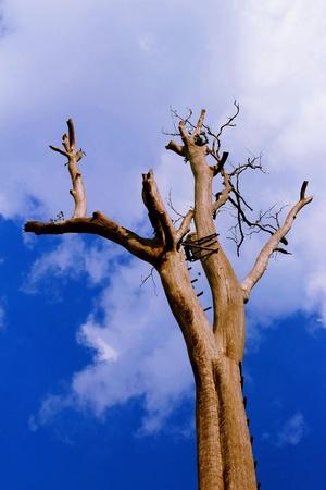 Dry tree in the sky  photo