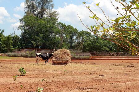 Cow on a farm photo