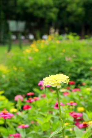 White zinnia photo