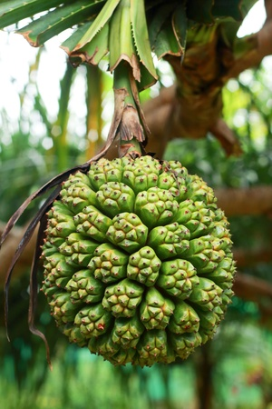 pandanus tree: Pandanus tectorius