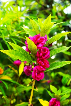 balsam: Garden Balsam - Pink Flowers