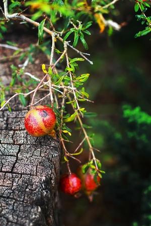 punica granatum: Punica granatum fruit Stock Photo