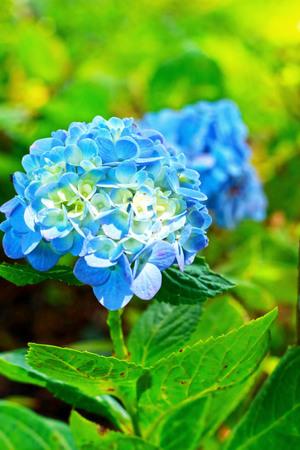 Hydrangeas flower in garden photo