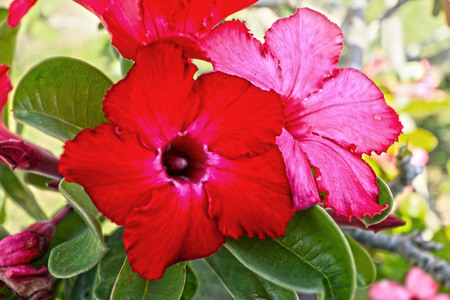 Impala lily adenium - pink flowers photo
