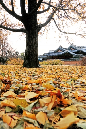 Ginkgo leaves change color in Korea.