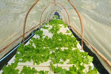 Butter head vegetable in hydroponic farm photo