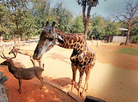 Giraffes in the zoo Stock Photo - 24913197