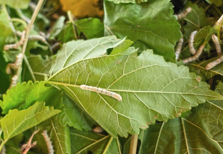 Silkworms eating fresh mulberry leaves