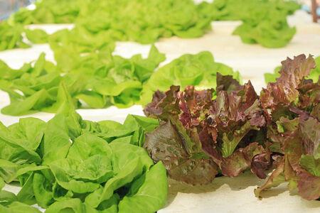 butter head: Butter head vegetable in hydroponic farm