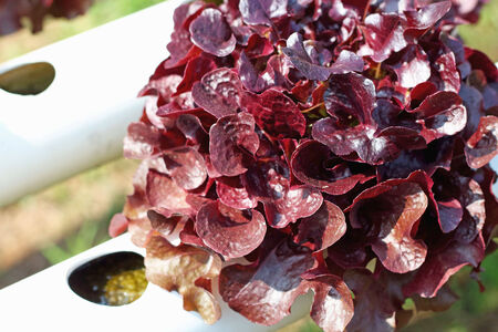 red coral vegetable in hydroponic farm photo