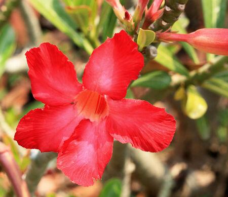 Impala lily adenium - pink flowers Stock Photo - 25817378
