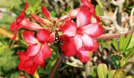 Impala lily adenium - pink flowers Stock Photo - 25817379