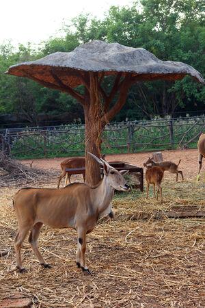 springbuck: Springbok in the zoo Stock Photo