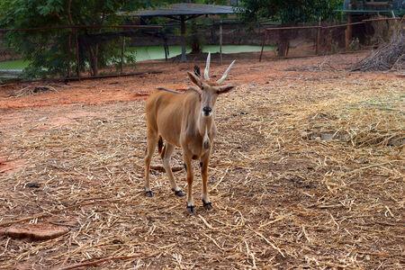 springbok: Springbok in the zoo Stock Photo