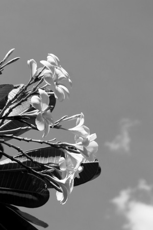 White frangipani flower on tree