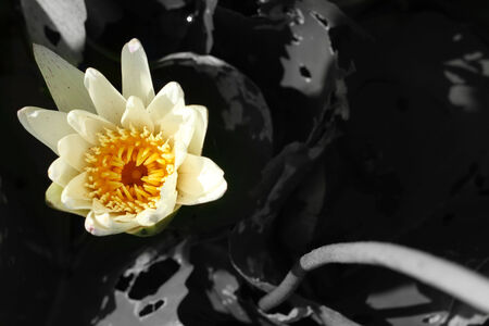 lotus white flower in the nature photo