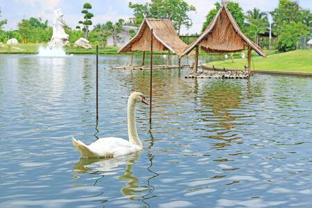 Swimming a white swan  photo
