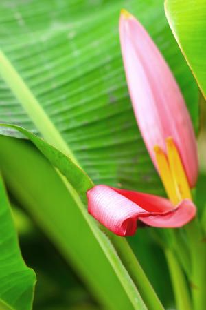 Ornamental Banana Flower photo