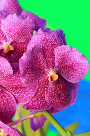 vanda: purple orchid vanda flowers Stock Photo
