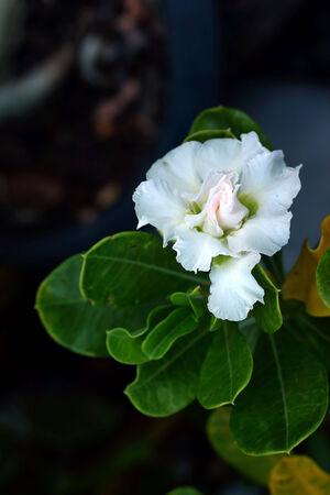 adenium obesum balf: Impala lily adenium - white flowers