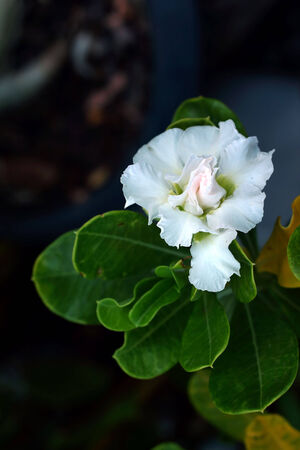obesum: Impala lily adenium - white flowers