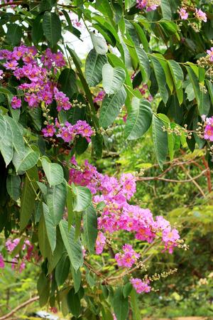 annonaceae: Cananga odorata pink flowers - asia tree
