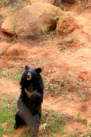 asiatic: Asiatic black bears in nature Stock Photo