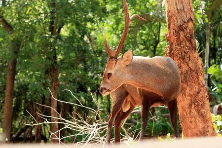 sika deer: Sika deer in the nature