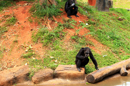 simia troglodytes: Monkeys in the nature