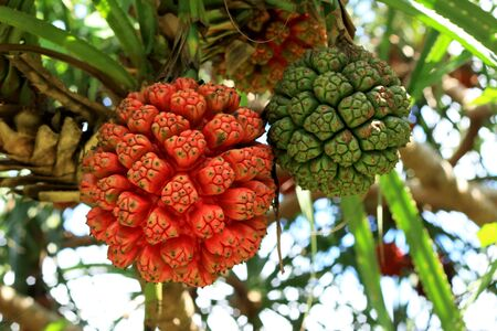 palm fruits: Palm fruits