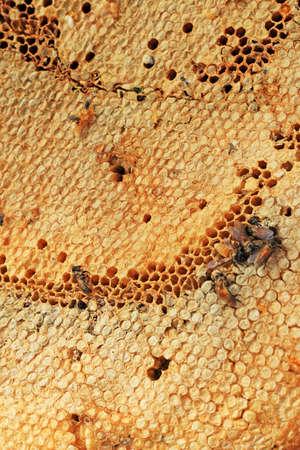 honey comb: fresh honey in the comb