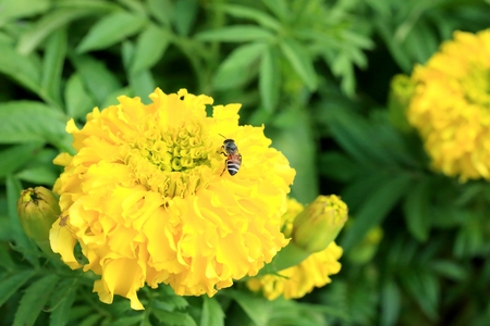 marigold: Flower marigold