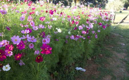 field of pink cosmos flower photo