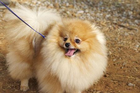pomeranian: brown pomeranian dog